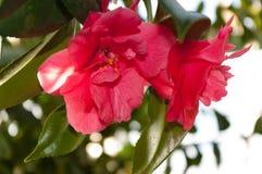 Blomman av den dekorativa busken Royaltyfria Foton