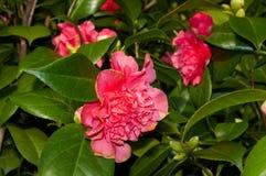Blomman av den dekorativa busken Royaltyfri Fotografi