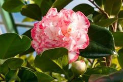 Blomman av den dekorativa busken Royaltyfri Foto