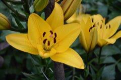 Blomman av en gul lilja som växer i en sommarträdgård arkivfoto