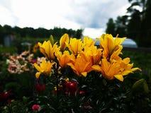 Blomman av en gul lilja som växer i en sommarträdgård fotografering för bildbyråer