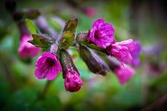 Blomman av en medunica i skogen, tidig spring_ Royaltyfri Foto