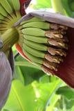 Blomman av ett bananträd Royaltyfri Foto