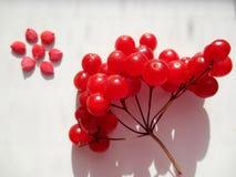 Blomman av kärnar ur och röda viburnumbär Arkivfoton