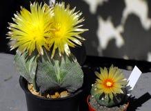 Blomman av kaktuns Arkivfoto