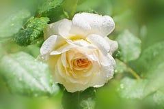 Blomman av kräm steg i sommarträdgården Engelska Rose Crocus R Arkivfoton