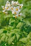 Blomman av potatisväxten arkivbild