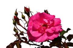 Blomman av rosen av blanden ståtar, Boer J Per 1953, med flera outvecklade knoppar på vit bakgrund Arkivbilder