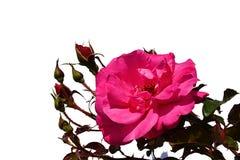 Blomman av rosen av blanden ståtar, Boer J Per 1953, med flera outvecklade knoppar på vit bakgrund Royaltyfria Bilder