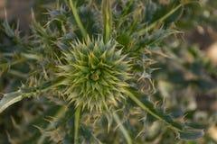 Blomman av Silybummarianumen, cardusmarianus, mjölkar tisteln, välsignad milkthistle, den Marian tisteln, den Mary tisteln, Sts M arkivbilder
