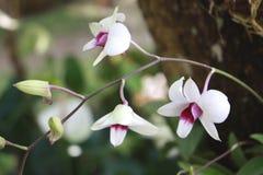 blomman blommar orchidorchidsphalaenopsis Royaltyfria Foton