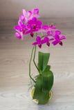blomman blommar orchidorchidsphalaenopsis Arkivbild