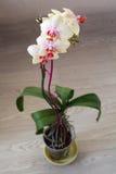 blomman blommar orchidorchidsphalaenopsis Royaltyfri Bild