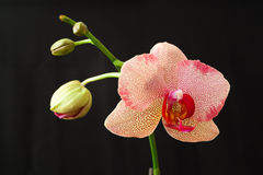 blomman blommar orchidorchidsphalaenopsis Royaltyfri Foto