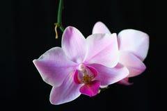 blomman blommar orchidorchidsphalaenopsis Arkivfoto