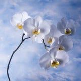 blomman blommar orchidorchidsphalaenopsis Royaltyfria Bilder