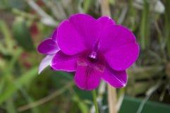 blomman blommar orchidorchidsphalaenopsis Fotografering för Bildbyråer