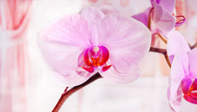 blomman blommar orchidorchidsphalaenopsis arkivbilder