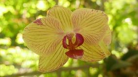 blomman blommar orchidorchidsphalaenopsis arkivfilmer