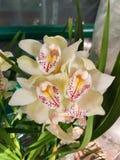 blomman blommar orchidorchidsphalaenopsis Royaltyfri Fotografi
