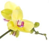 blomman blommar yellow för orchidorchidsphalaenopsis Royaltyfri Bild