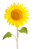 blomman blommar yellow för frösunsolros Royaltyfri Fotografi