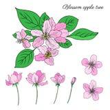 Blomman för blomningen för det Apple trädet, knoppen, sidor, färgrikt botaniskt för filialvektor skissar handen som dras som isol Royaltyfria Bilder