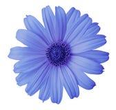 Blomman för den blåa tusenskönan på en vit isolerade bakgrund med den snabba banan Blomma för designen, textur, vykortet, omslag  arkivfoto