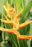 Blomman för den Canna liljan på gräsplan lämnar bakgrund Royaltyfri Fotografi