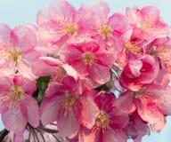 Blomman för den vårsakura blomningen fattar arkivfoto