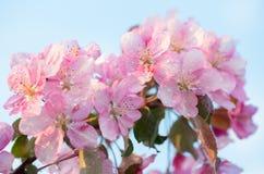 Blomman för den vårsakura blomningen fattar royaltyfri bild