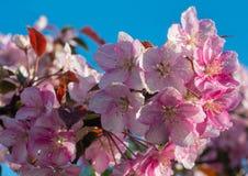 Blomman för den vårsakura blomningen fattar arkivfoton
