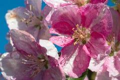 Blomman för den vårsakura blomningen fattar royaltyfria foton