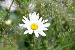 Blomman för den vita tusenskönan växer på en äng Royaltyfria Foton