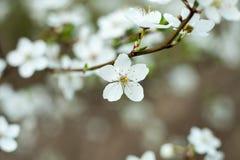Blomman för det Apple trädet fattar på Apple träd som blomstrar i vår Arkivfoto