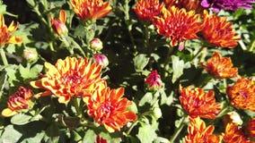 blomman för krysantemumet [4K] med närbildsikt på blomsterhandlaren stock video