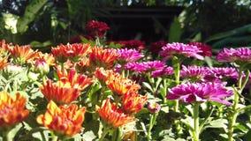 blomman för krysantemumet [4K] med närbildsikt på blomsterhandlaren arkivfilmer