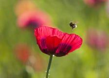 Blomman för opiumvallmo och stapplar biet Fotografering för Bildbyråer