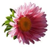 Blomman för trädgårds- rosa färger på en vit isolerade bakgrund med den snabba banan Closeup inga skuggor, kamomill Arkivbild