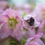 Blomman för walheroen för rosmarin för Helleborous walberton` s med stapplar biet Arkivbild