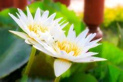 blomman har vattenfärger för bild för I-lotusblomma jag själv vita målade Arkivfoto