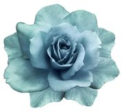 Blomman isolerad turkos steg på en vit bakgrund closeup element för klockajuldesign arkivbilder