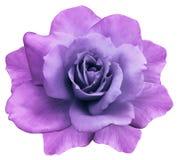 Blomman isolerade rosa färg-lilor steg på en vit bakgrund closeup element för klockajuldesign royaltyfri fotografi