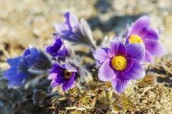 Blomman kallas också urgulkaen Det växer löst, och dess blomning är ett av det första tecknet av våren 40 grader glaserar mer rus Royaltyfria Bilder