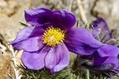 Blomman kallas också urgulkaen Det växer löst, och dess blomning är ett av det första tecknet av våren 40 grader glaserar mer rus Arkivfoto