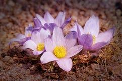 Blomman kallas också urgulkaen Det växer löst, och dess blomning är ett av det första tecknet av våren 40 grader glaserar mer rus Fotografering för Bildbyråer