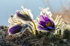 Blomman kallas också urgulkaen Det växer löst, och dess blomning är ett av det första tecknet av våren 40 grader glaserar mer rus Arkivfoton