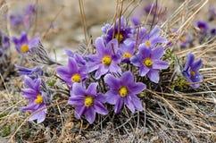 Blomman kallas också urgulkaen Det växer löst, och dess blomning är ett av det första tecknet av våren 40 grader glaserar mer rus Arkivbild