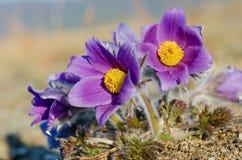 Blomman kallas också urgulkaen Det växer löst, och dess blomning är ett av det första tecknet av våren 40 grader glaserar mer rus Royaltyfri Fotografi