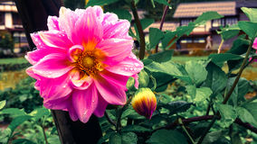 Blomman på Shirakawa går byn i Japan arkivfoton
